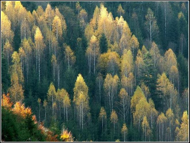 Smrekovce - Larch trees 2005