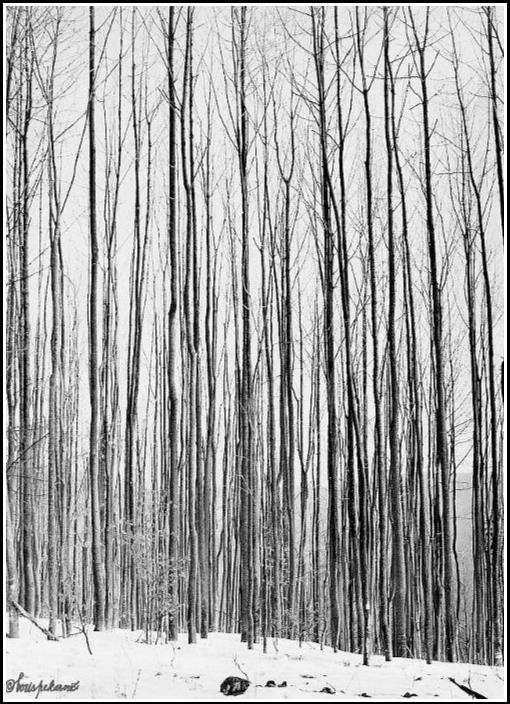 Mladý jaseňový les - Young ash-tree forest 1985